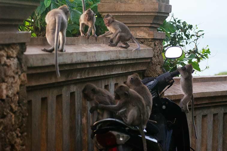 Обезьяны-хулиганы в храме Улувату