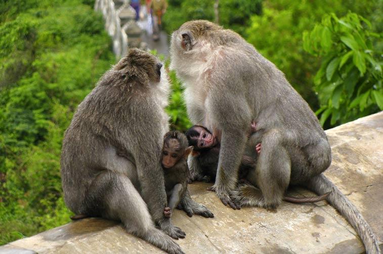 Обезьяны-хулиганы в храме Улувату - блоги о путешествиях