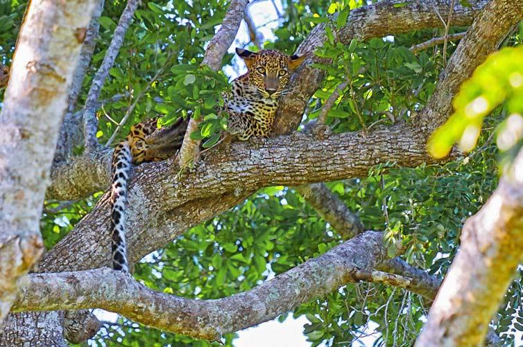Леопард, Яла, Шри Ланка.