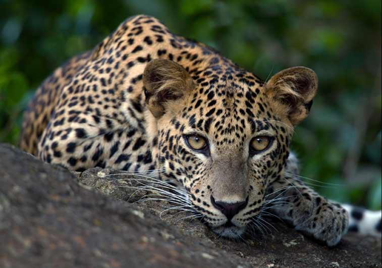 Леопарды в Яле