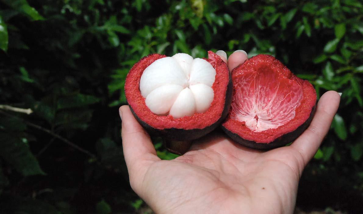 Королевский фрукт Мангостан
