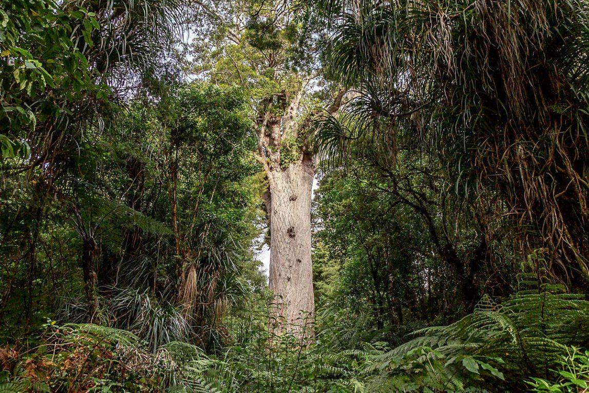 Лес Каури, Новая Зеландия
